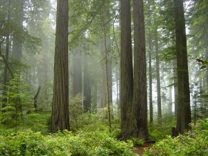 redwood-national-park-fog-forest-michael-schweppe-cc