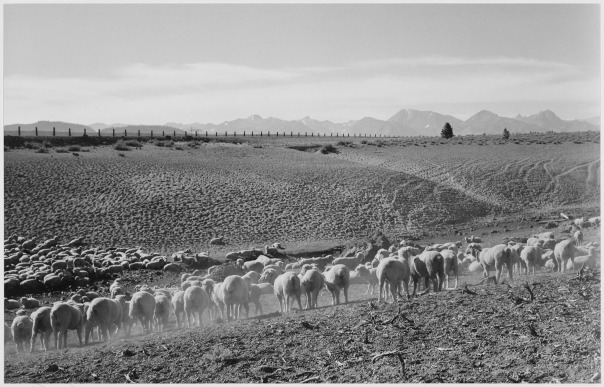 Sheep in the Owens Valley, in the area of Mary Austin's home, photographed by Ansel Adams