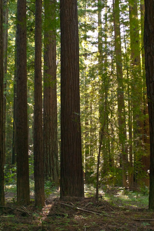 Navarro River Redwoods (Credit: David Eppstein)